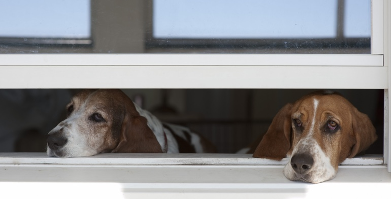 Beagles look out open window with no window covering in Detroit.